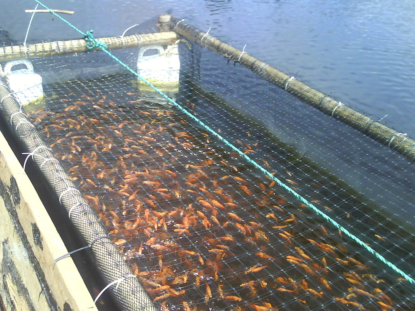 Cultivo de peces en jaulas flotantes con producci n de for Cria de mojarra roja en estanques