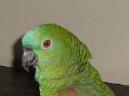 Papagaia