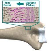 Kemik Büyüme Tabakası, Plakası, Yeni Kemik Oluşumu ve Uzaması