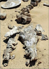 Hallan restos de cocodrilo gigante de 20 milloñes de años