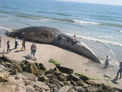 blue whale size. -The heart of a lue whale is