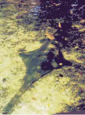 pez sierra