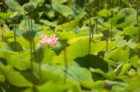 lotus flower pic