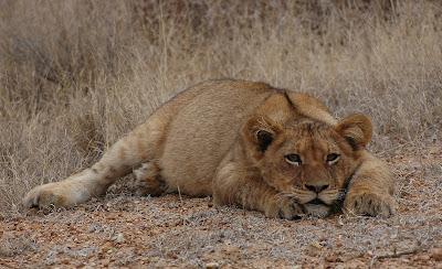 rencontre lionceau