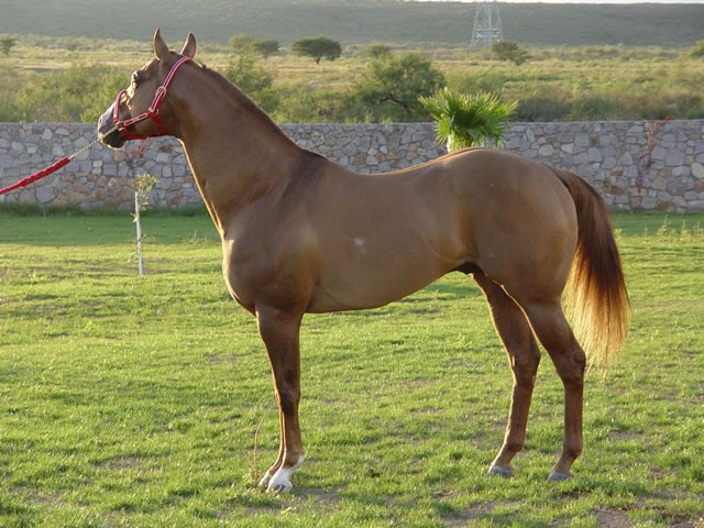 Burreros goya ctes caballos de carreras for Caballos cuarto de milla