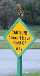 Florida Hawk on taxiway sign at Spruce Creek