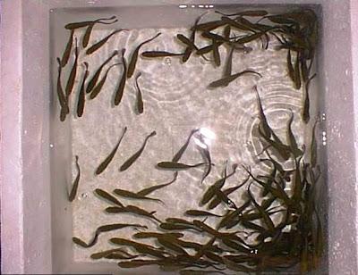 Apna abril 2009 for Fertilizacion de estanques piscicolas