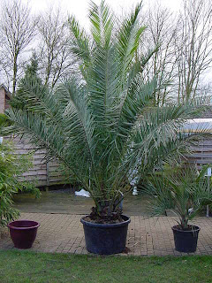 exotic gardening in the north west of england phoenix canariensis is it a good choice. Black Bedroom Furniture Sets. Home Design Ideas