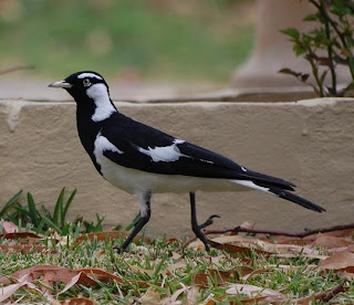 birds magpie nature male