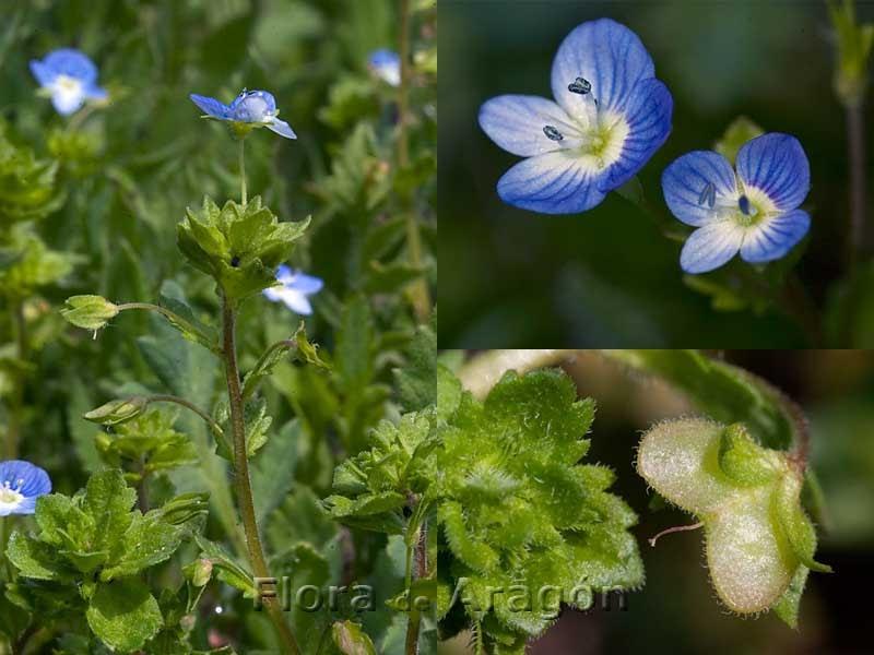 Flora de Aragón: Veronica persica  Flora de Aragó...