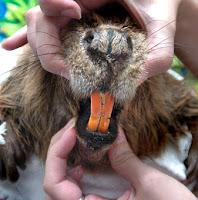 Beaver teeth!