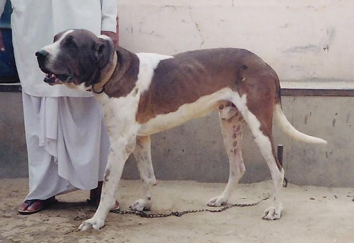 pakistani mastiff - photo #24