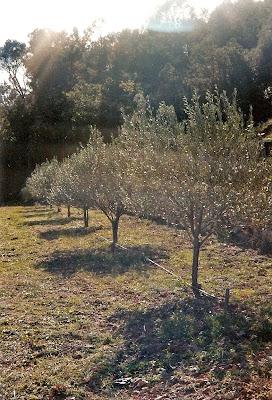 Amapbdm les oliviers et l 39 huile de jean claude - Traitement olivier bouillie bordelaise ...
