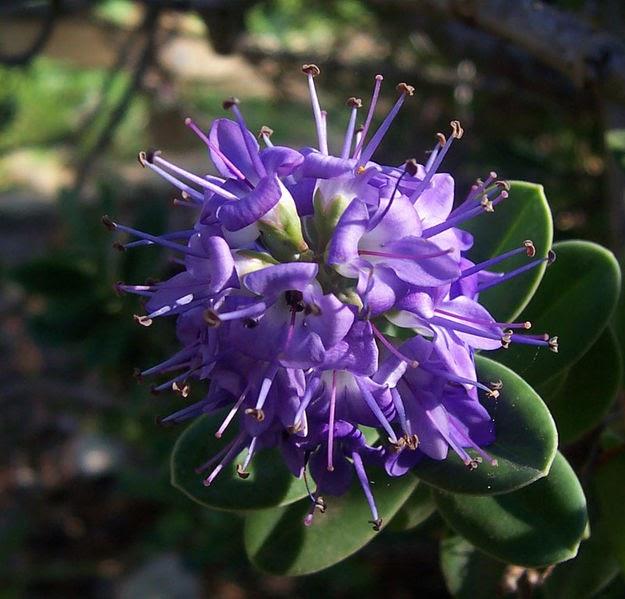 Plantas a diario hebe for Hebe arbusto