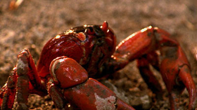 Christmas Island Red Crab
