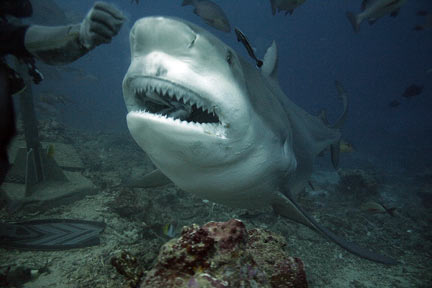 can bull sharks live in freshwater and saltwater meet