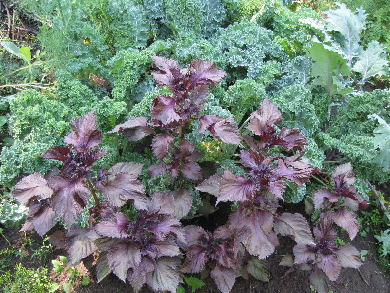 Chocolate Mint Coleus Ingenious Flower 10 Pelleted Seeds Fast Color