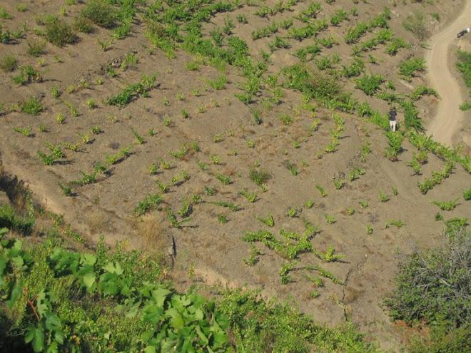 Hay que observar bien la uva en todas las laderas