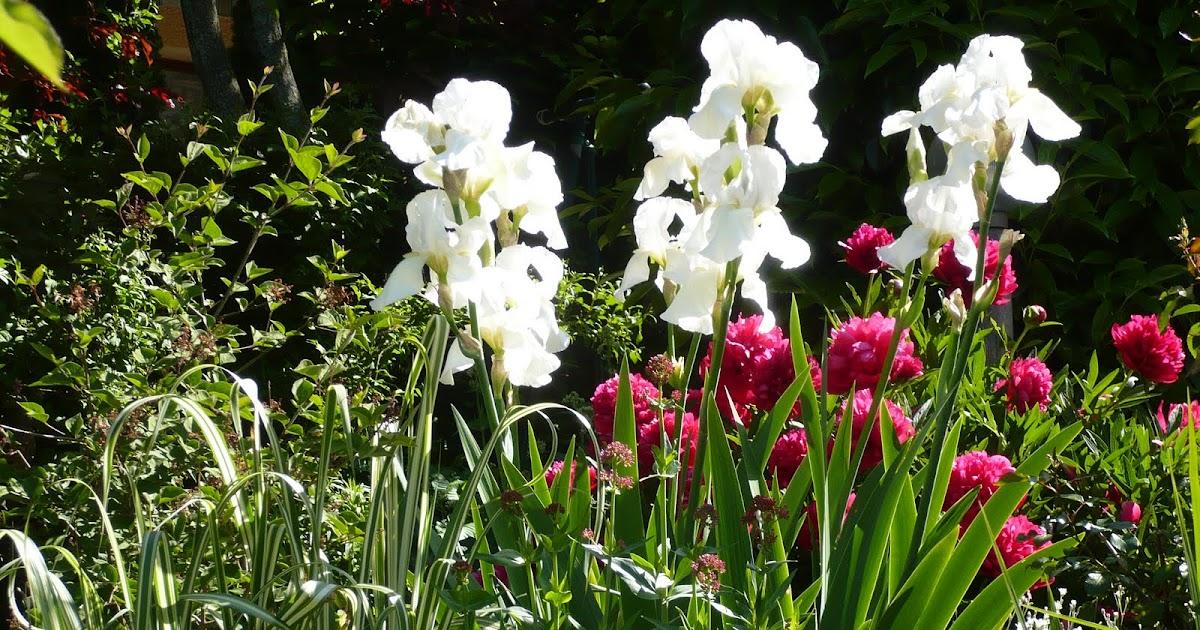 le jardin des grandes vignes iris blanc et pivoine rubra. Black Bedroom Furniture Sets. Home Design Ideas