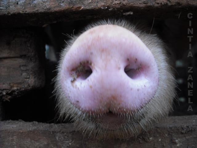 o focino do porco