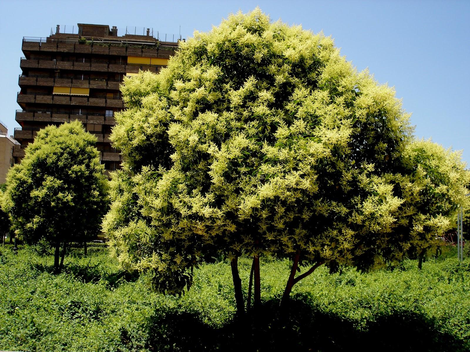Rboles con alma aligustre de china ligustrum lucidum for Arboles de hoja perenne para clima frio