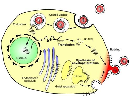 Virus-Host Interactions: Virus Replication Cycle Part I