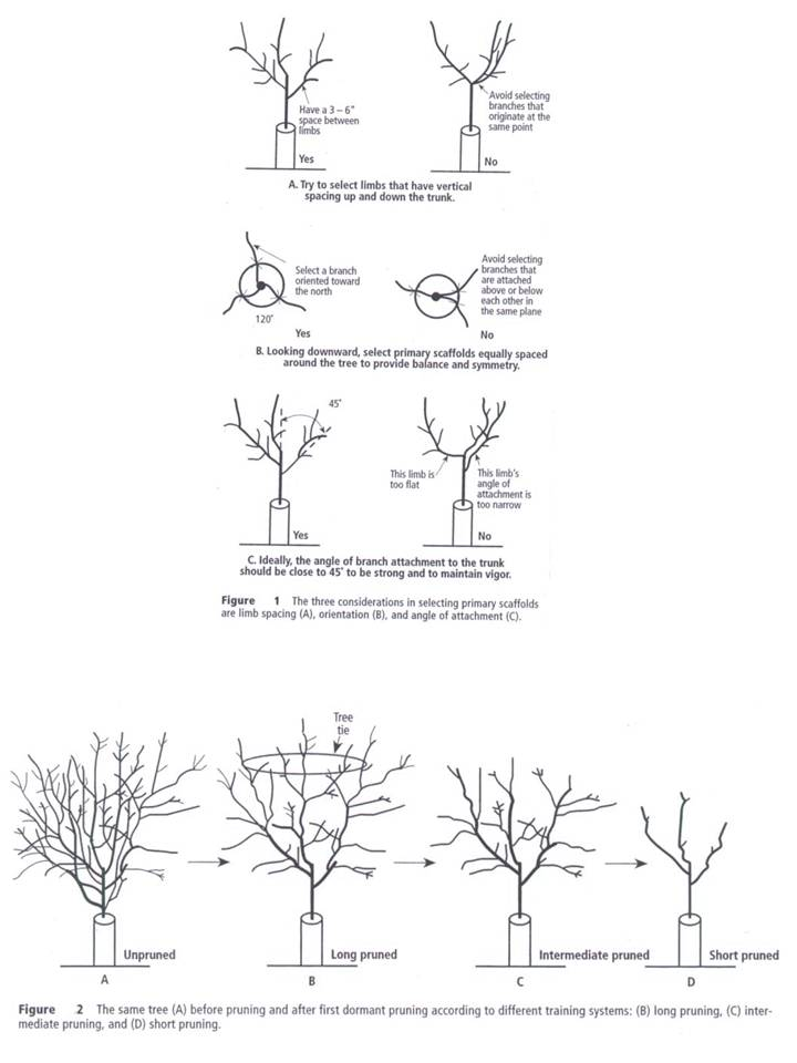 Pruning First and Second Leaf Almonds - The Almond Doctor