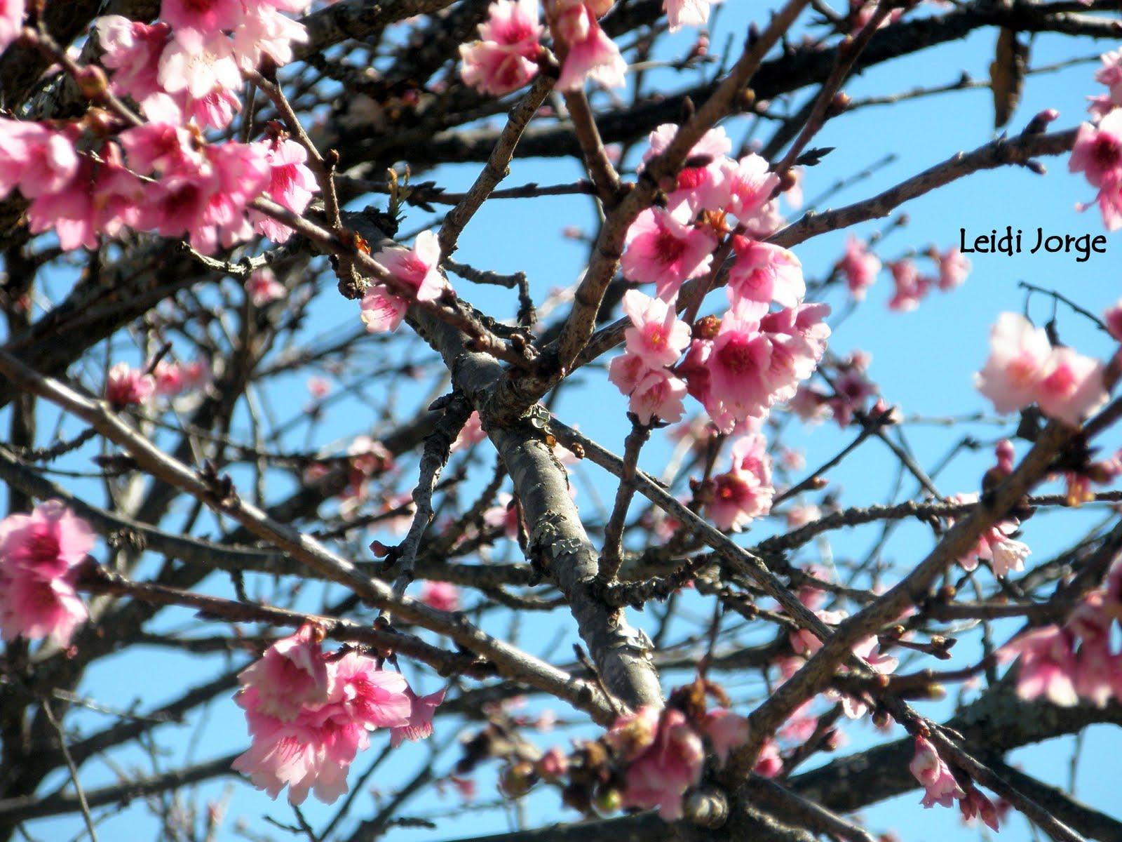 Arbol De Cerezo Japones musa lunera: ''sakuras criollas''.