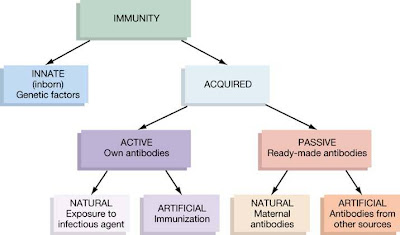 As shown in the above flowchart our immunity can be ided into two categories namely innate and adaptive acquired so what exactly is also immunology for dummies rh freaksnotgeeksspot