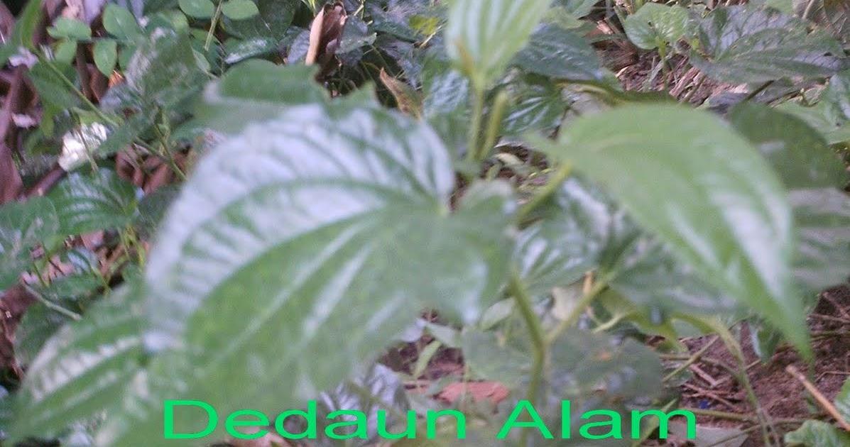 Dedaun Alam: Kaduk