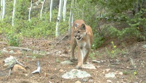 A mountain lion photographed by my trail camera