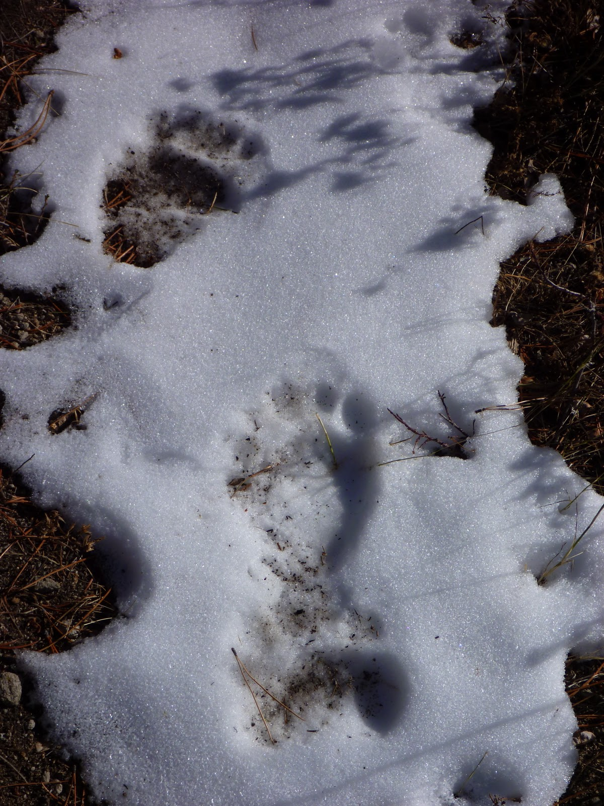 Black Bear Tracks In Snow