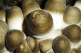 Mushroom Production: MILKY MUSHROOM CULTIVATION