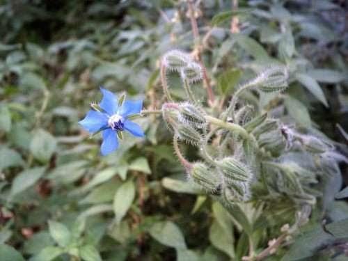 Casa y jardin yuyos hierbas ar maticas cultivo de borraja - Cultivo de hierbas aromaticas en casa ...