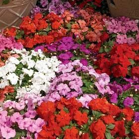 Flores y jardin patio plantas anuales alegrias - Planta alegria del hogar ...