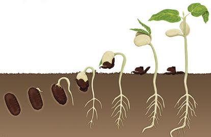 kannabis siementen idätys aika