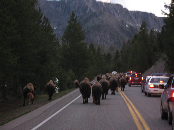 Traffic jam in yellowstone. About 80 buffalo caused an hour delay for us.