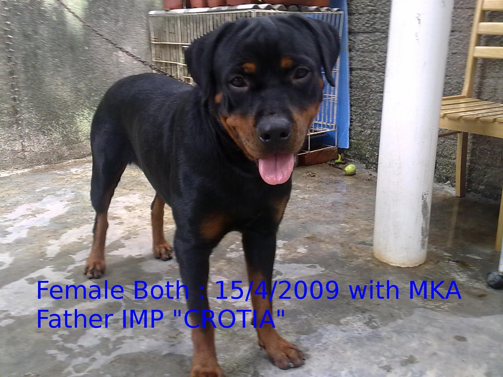Adult Rottweiler Female MKA for Sale  5b06e538b8