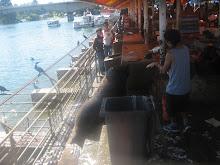 Lobo marino en la Feria Fluvial de Valdivia