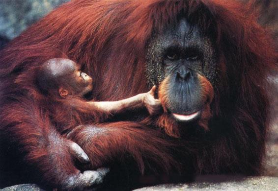 Orangotango-de-Sumatra... Até quando?