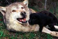 [happy-wolf-pup.jpg]