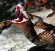 The Middle Ground: Venomous Snakes of the United States ...