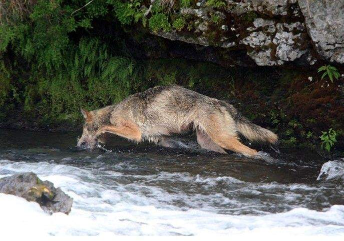 You know Wolf can fish