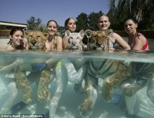 Tigers swimming with Bikini Girls: 10