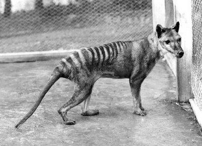 [thylacine2.jpg]
