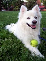 animal kingdom american eskimo dog
