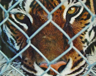Olivia, a Siberian tiger at a wild animal rescue shelter in Idaho, photo by Robin Atkins