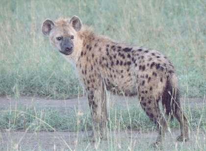Cheetahs Food And Eating Habits