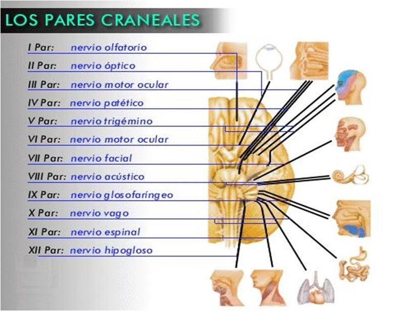"""Anatomia 2: V PAR CRANEAL """"TRIGEMINO"""""""