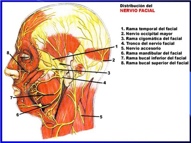 Anatomia 2: VII PAR CRANEAL